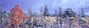 Aspen in Fall with Snow near 100 Mile House
