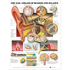 Ear-Organ of Hearing & Balance Chart