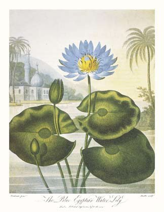 Blue Egyptian Water-Lily, Art Poster by Dr. Robert John Thornton