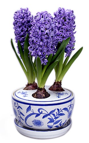 Three Delft Blue Hyacinths Holiday Bulbs in Ceramic Decorated Planter by Vanderschoot