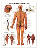 Spinal Nerves Anatomical Chart Plastic Styrene