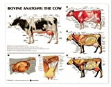 Bovine Anatomy: The Cow Anatomical Chart Laminated